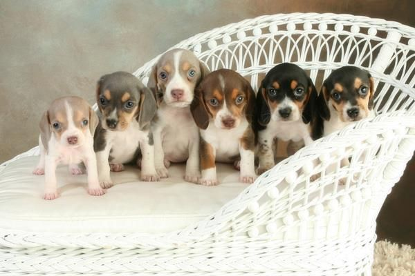 Adopt Gertie On Petfinder Baby Beagle I Love Dogs Beagle Puppy