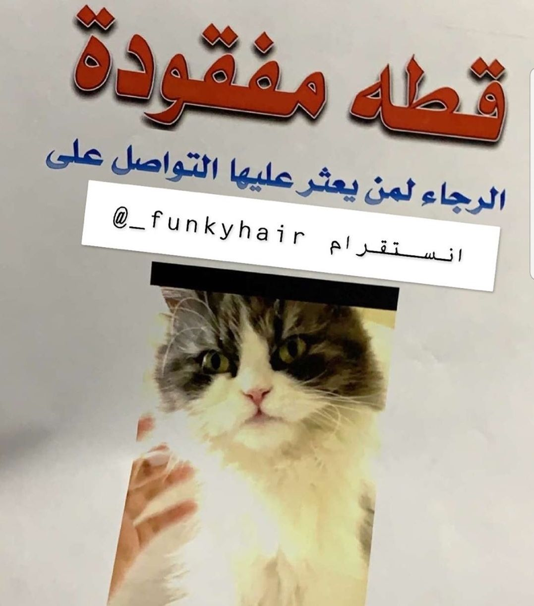 قطه مفقودة بالرياض حي الروضه من ايام التواصل Funkyhair قطط قطط الرياض بيكي فيس كيتين شيرازي هيمالايا هي Cats Cats Animals Pets