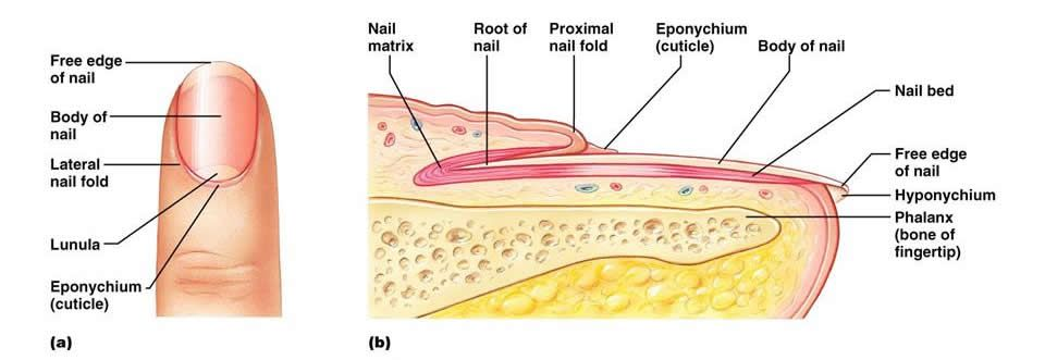Anatomy of nail. Yay integumentary system! | Science ...
