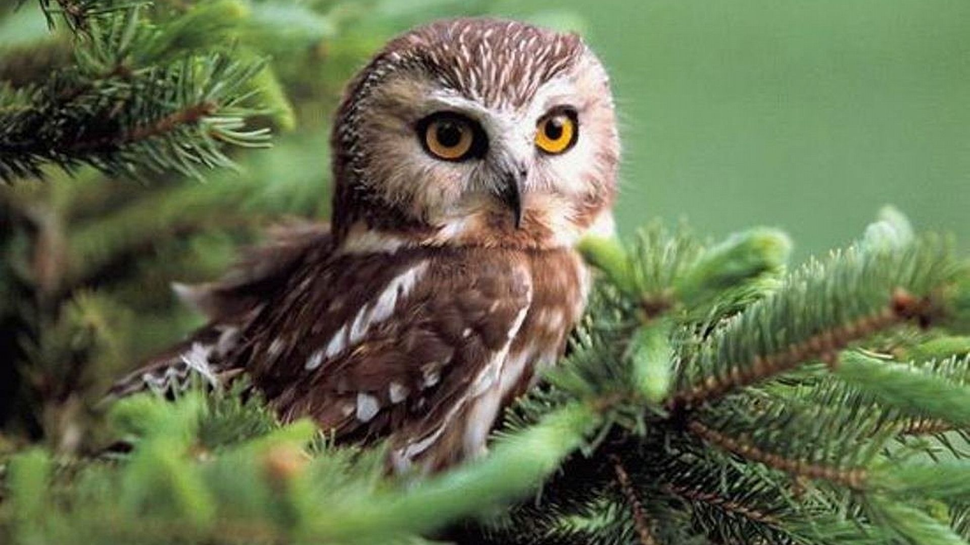 Owl wallpaper 2 for the love of owls owl wallpaper - Animal 1920x1080 ...
