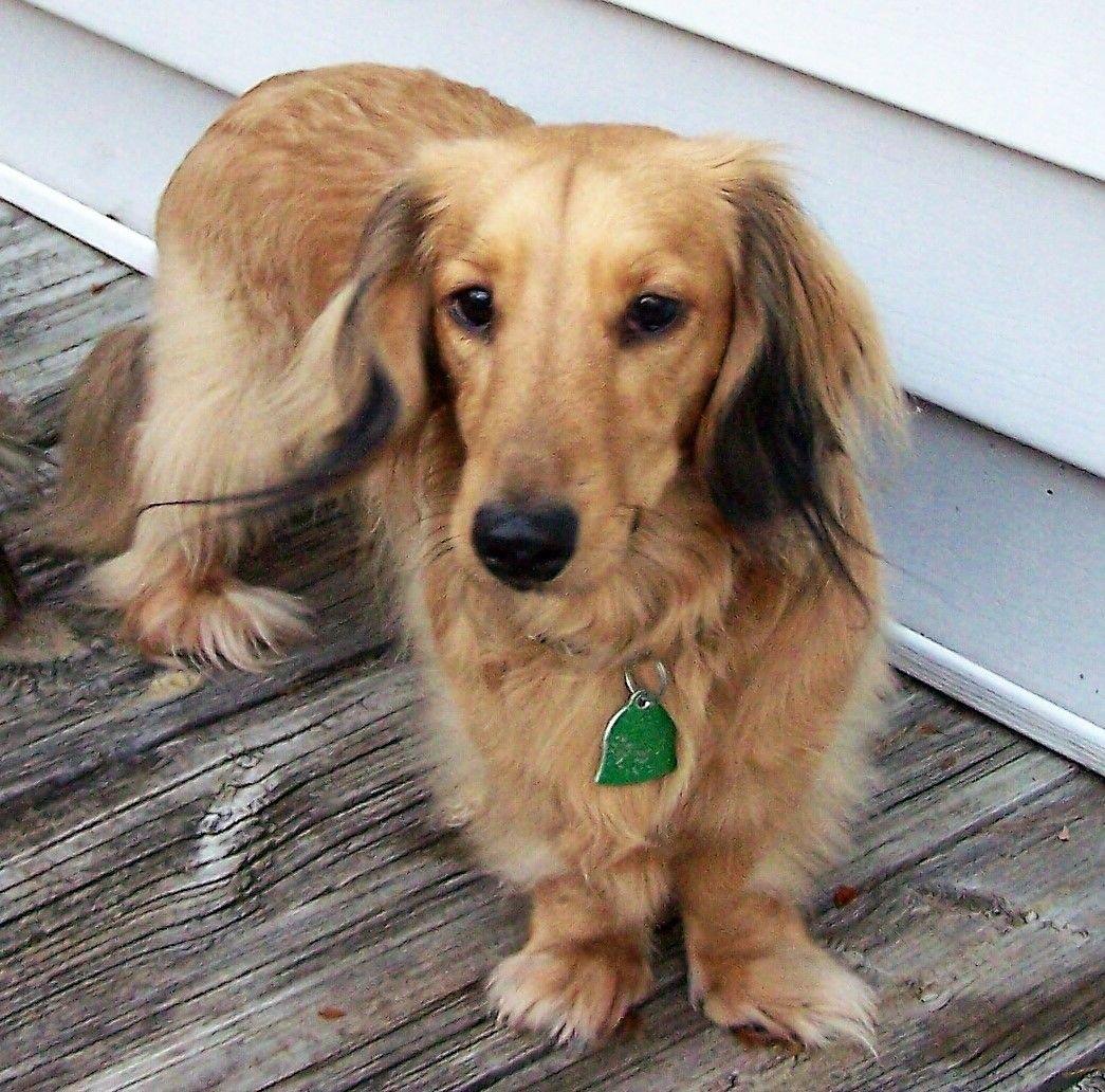 Dachshund Dog For Adoption In Lewisburg Tn Adn 561643 On