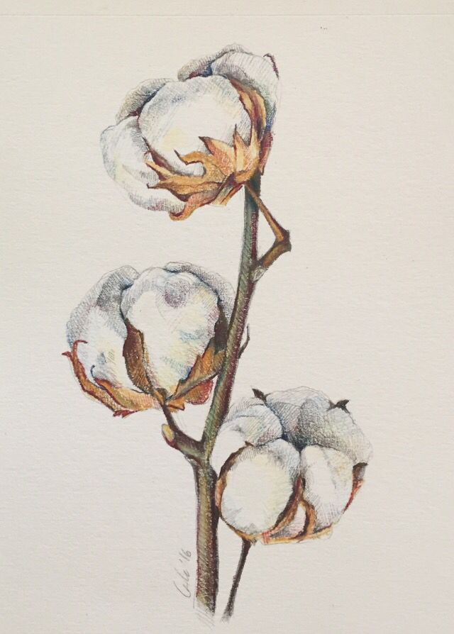 Cotton Plant Illustration Pencil Color Peinture Dessin