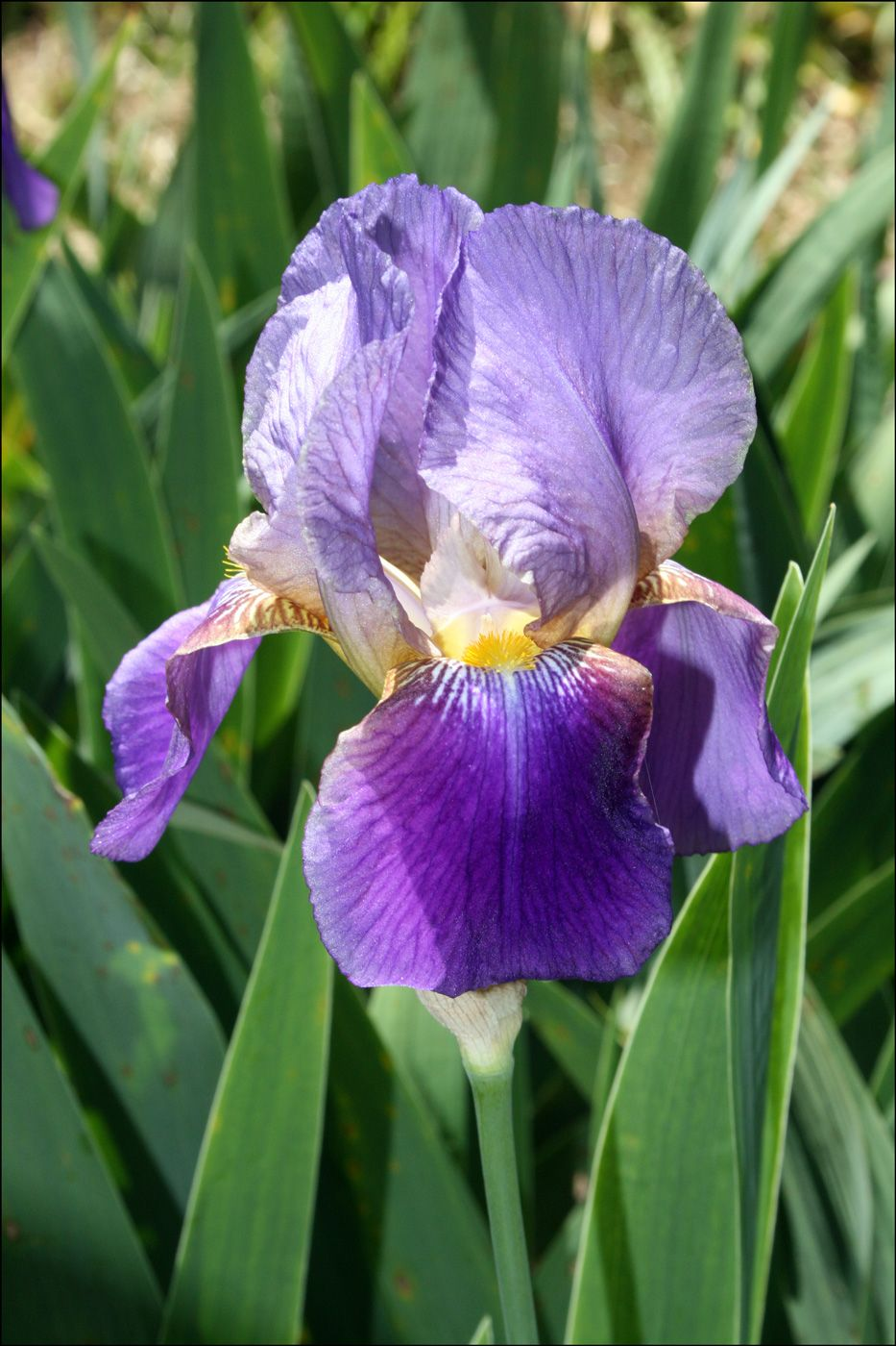 70 beautiful purple flowers care growing tips iris garden 70 beautiful purple flowers care growing tips izmirmasajfo Image collections