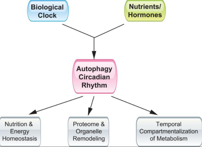 What is Autophagy? Definition, Benefits, 25 Ways to Increase It