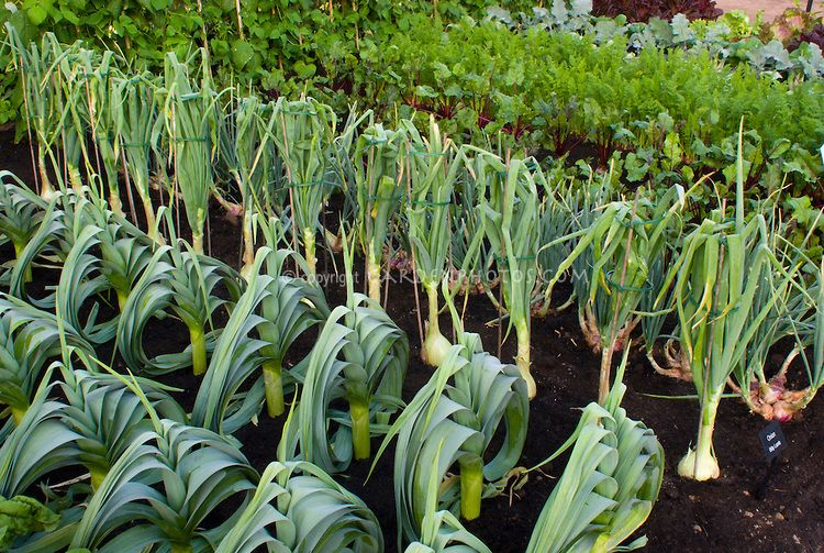 Ordinaire Onion Billy Lamb, Leeks, Chard, Shallots, Growing In Vegetable Garden In  Good