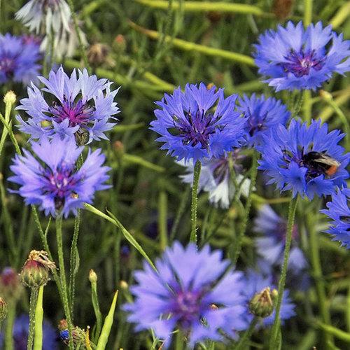 Bachelor S Button Seeds Centaurea Cyanus In 2020 Bachelor Button Flowers Bachelor Buttons List Of Flowers