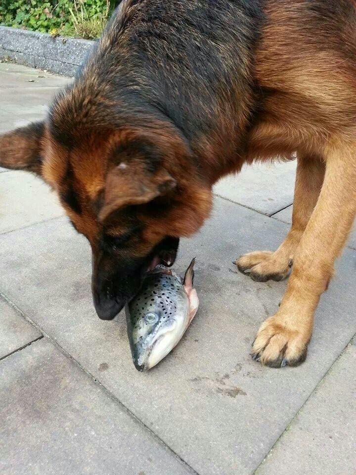 Eva Eating Salmon German Shepherd Dogs Animal Lover Malinois