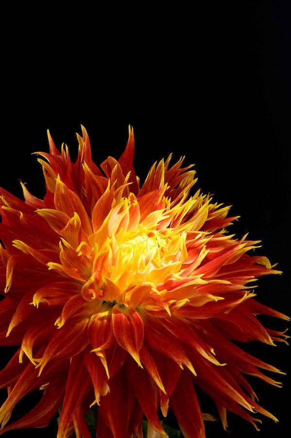 Glowing Dahlia