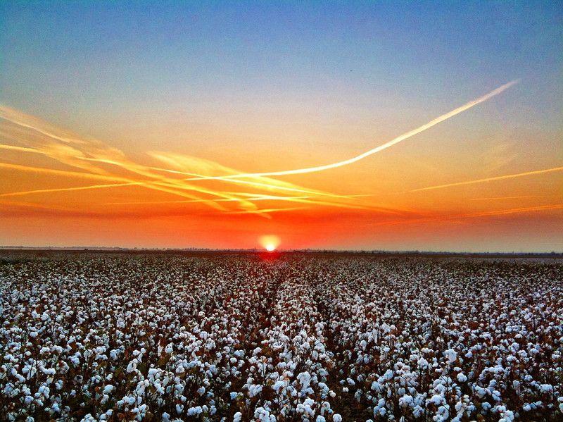 Mississippi Delta Cotton at Sunset - Bourbon, Mississippi