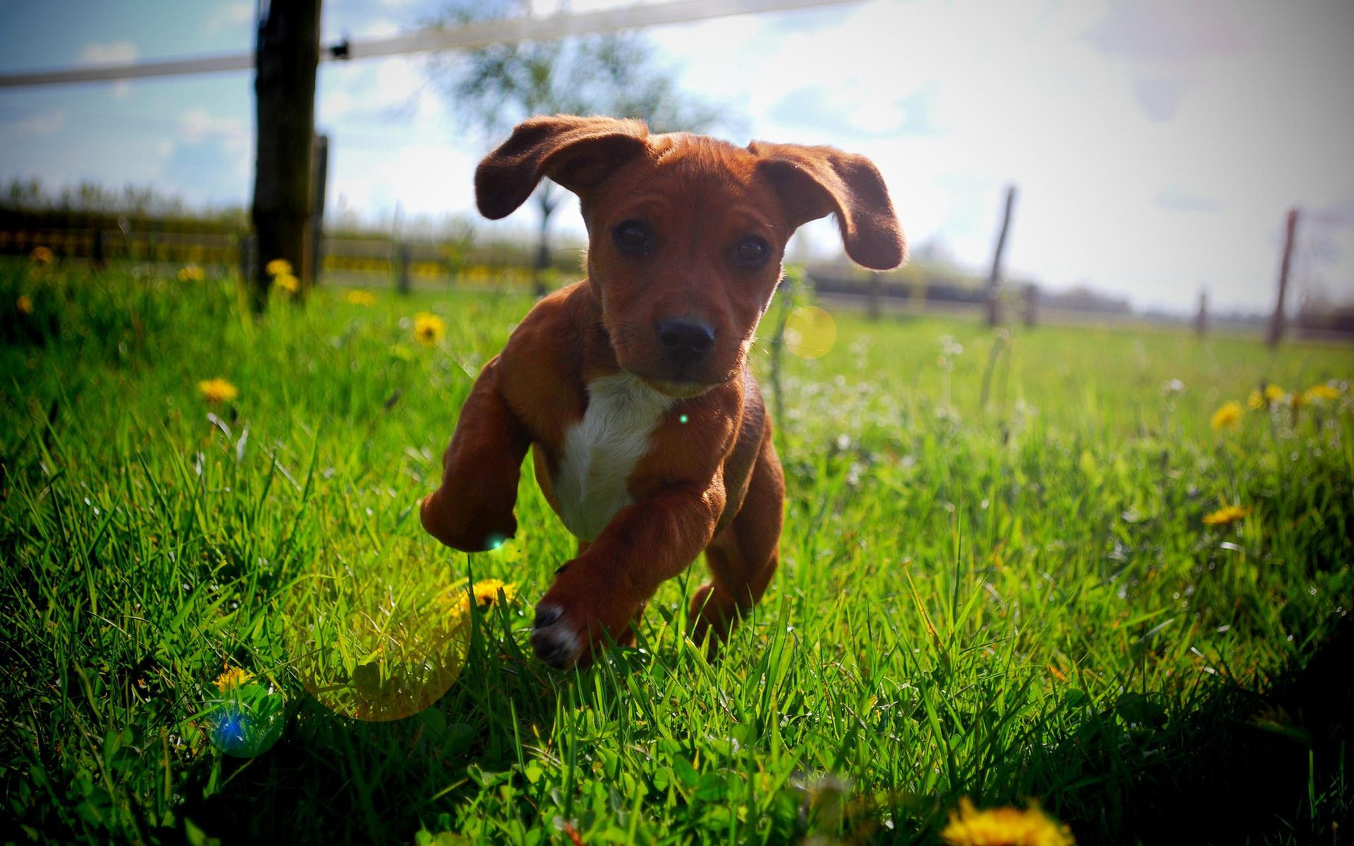 a cute brown puppy running in the grass. animal wallpapers. hd