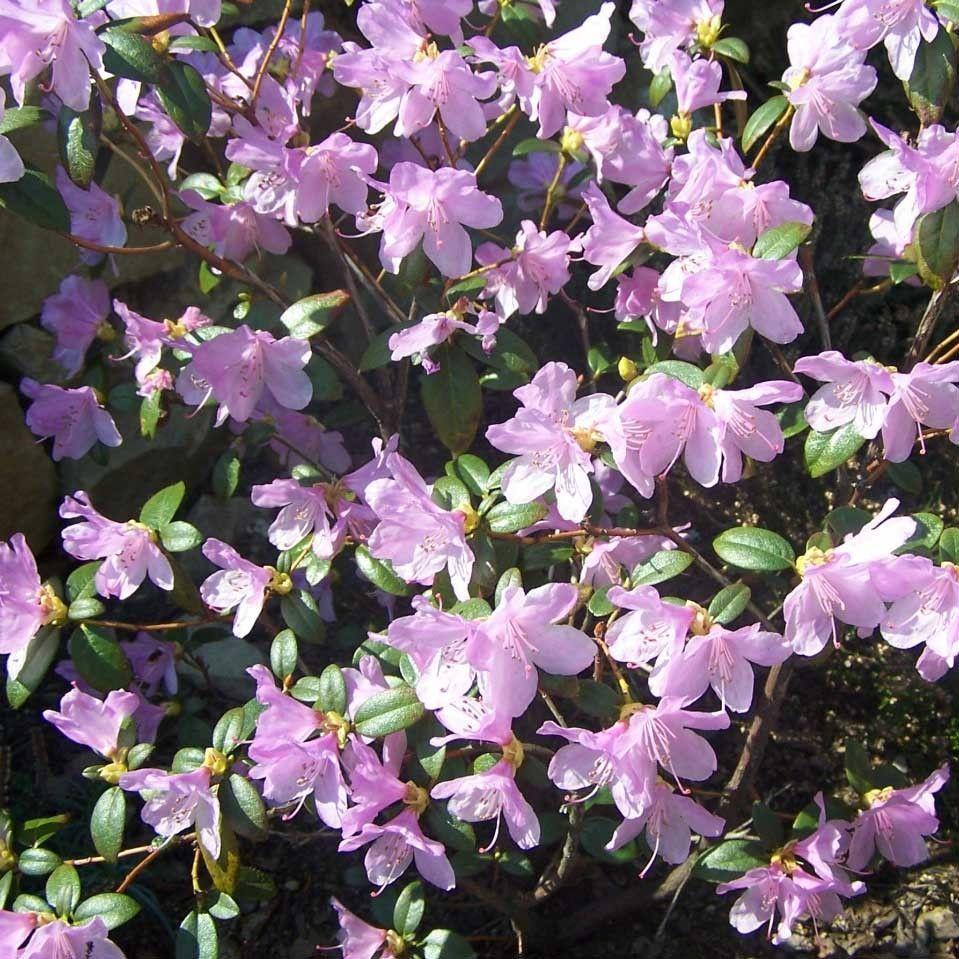 Arbuste Nain Persistant Plein Soleil rhododendron praecox – arbuste nain à floraison rose-mauve