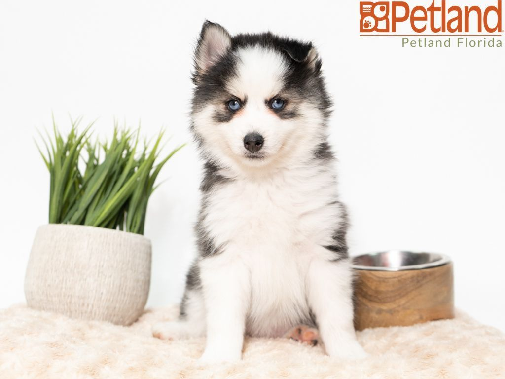 Petland Florida Has Pomsky Puppies For Sale Check Out All Our