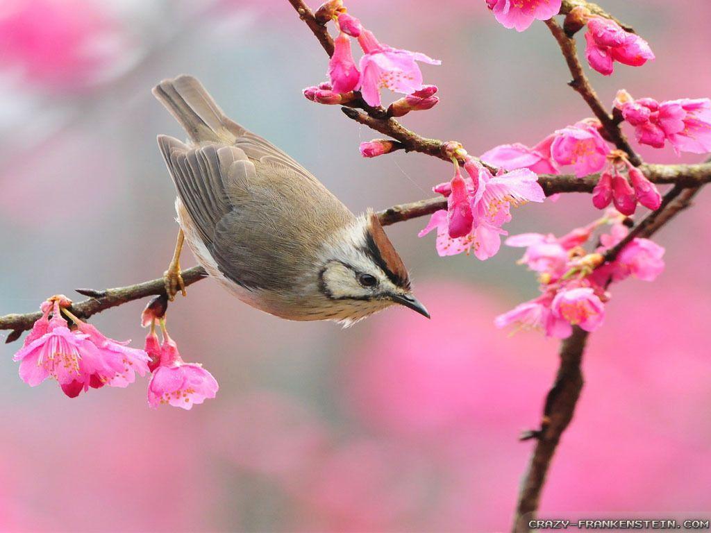 Oiseau branches fleurs printemps wallpapers hd le monde des gifs fleurs printemps - Wallpaper animaux ...