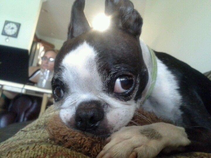 Lexi! (my Boston terrier)