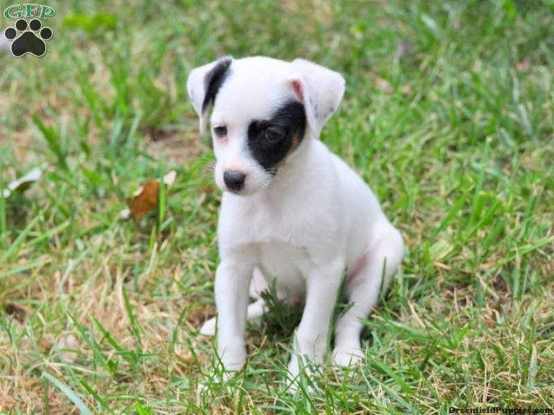 Barbara german shorthaired pointer puppy for sale in