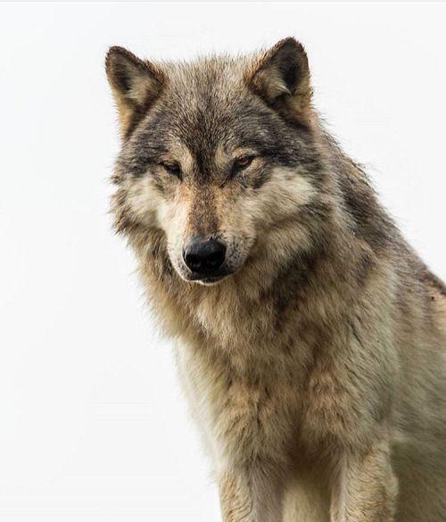 3 3 3 Viejo Guerrero Wolf Dog Wolf Husky Wolf Rescue