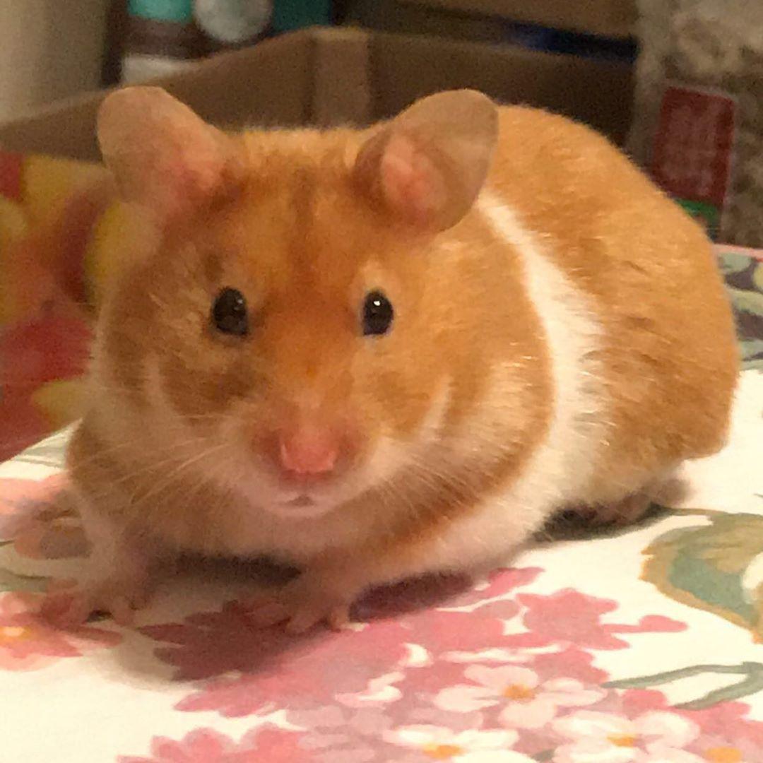 Beautiful Fancy Hamster Fancy Hamster Cute Hamsters Hamster