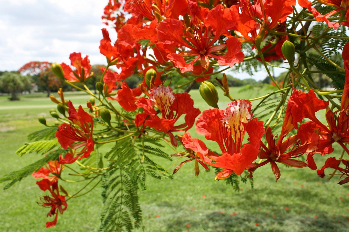Royal Poinciana Tree Tropical Tree With Red Orange Or Yellow