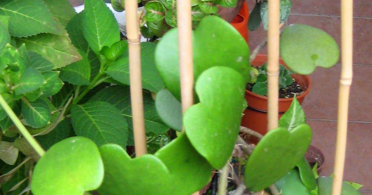 Hoya Kerrii Tropical Garden Plants Tropical Garden Plant Care