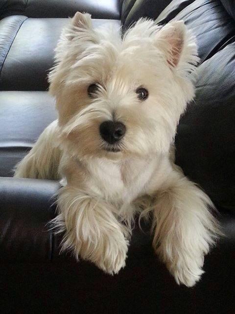 Westie Muito Fofo Perfeito Amooo Westie Dogs Baby Dogs Cute Puppies