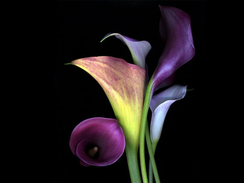 Black and white calla lily flowers with black and white black and white calla lily flowers with black and white background izmirmasajfo Image collections