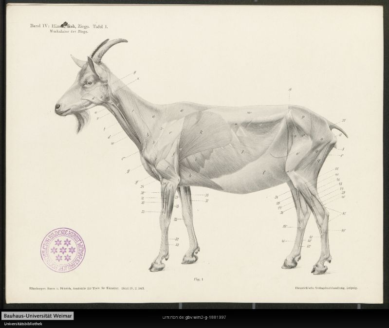 Anatomy of a goat, from a manual for artists, 1901. Anatomie von ...