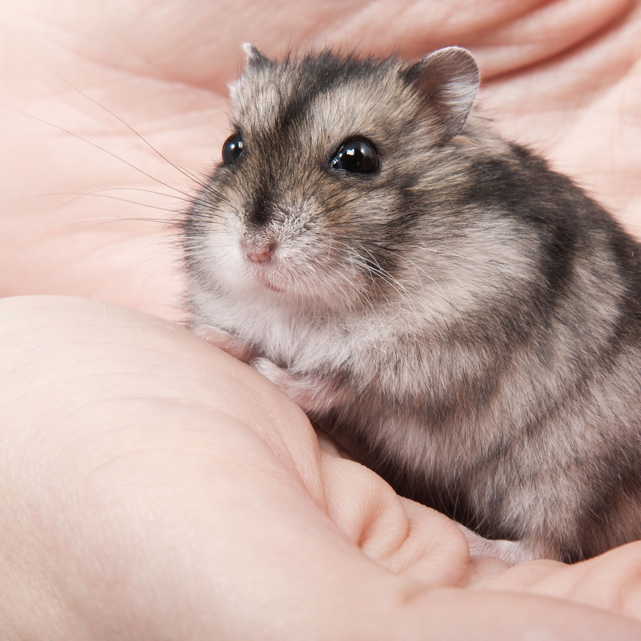 Pin By Puthya N Sabrina On Hamster Rule The World Hamster Cute Hamsters Male And Female Animals
