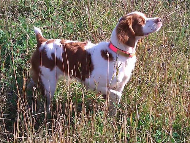 JDS Hawks Brittanies Brittany dog, Brittany spaniel