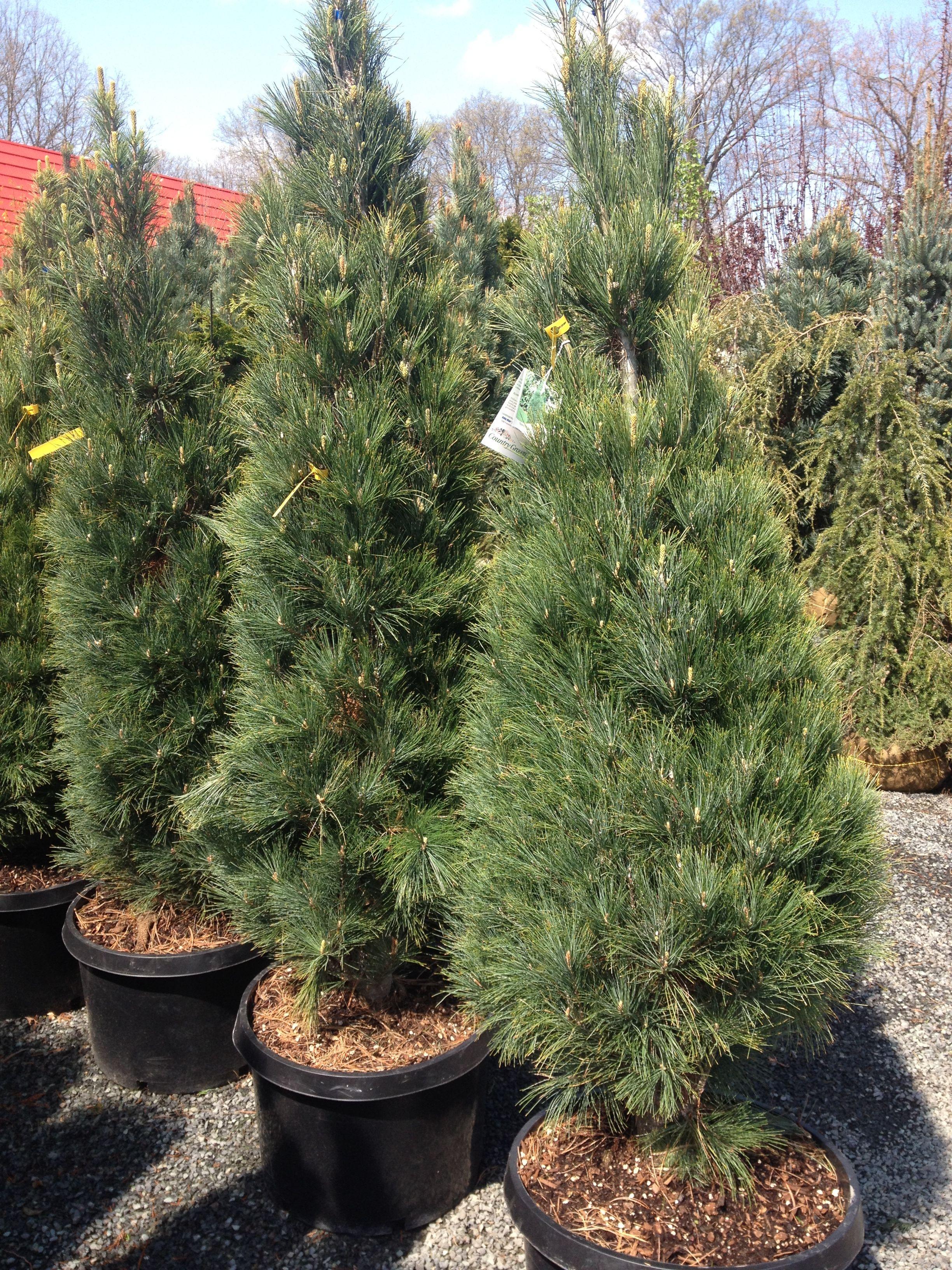 Stowe Pillar Eastern White Pine