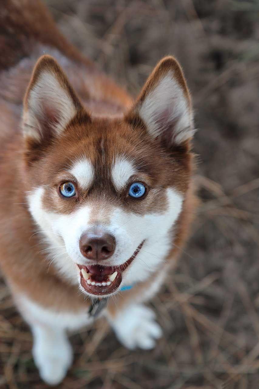 Pin By Alaskan Klee Kai Love On Klee Kai Blue Eyes Alaskan Husky