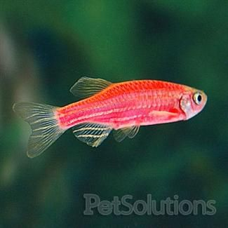 Starfire Red Glofish For Sale Online Petsolutions Feathers Fur