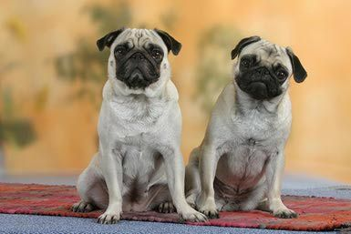 The Pug Is A Small Dog With A Big Personality Pugs Dogs Free
