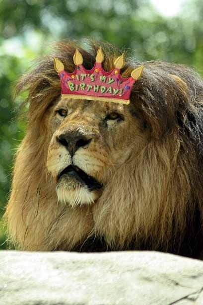 b4f64310a642c9013525325d5c9f41d5 christopher the lion celebrates his 20th birthday in style 20th
