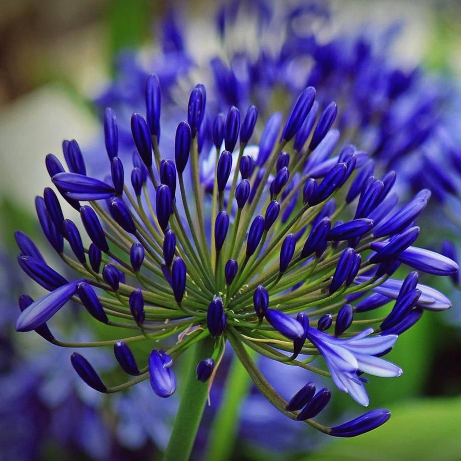 Agapanthus Back In Black Agapanthus Blue Flower Names African Lily