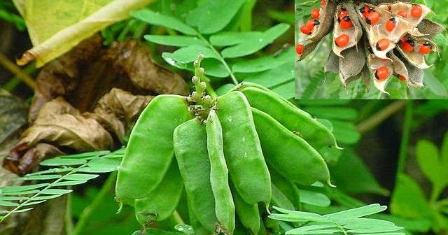 Abrus Precatorius Herbal Plants In Sri Lanka Plants Plant