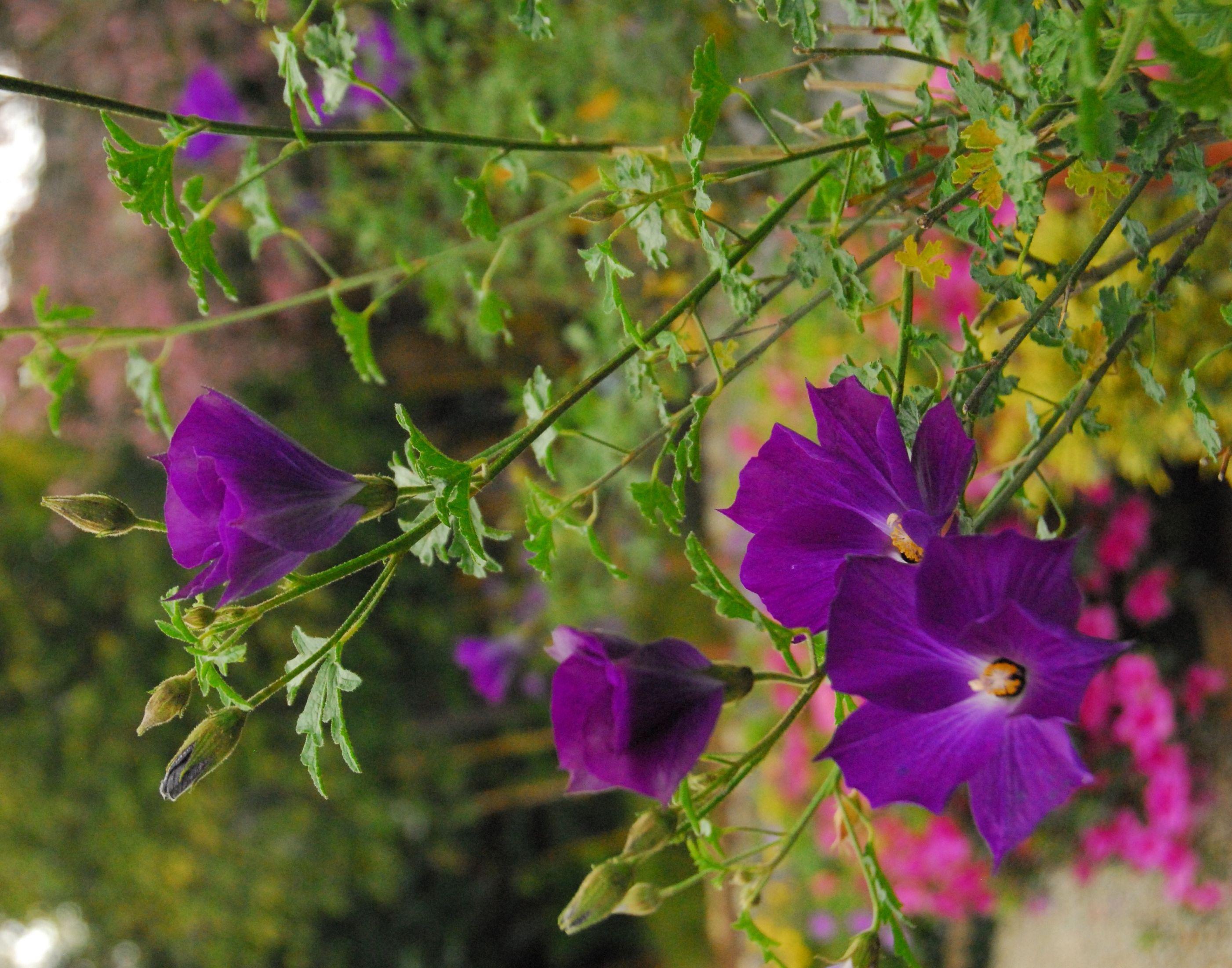 Leon's Purple Delight™ Lilac Hibiscus - Monrovia - Leon's Purple Delight™ Lilac Hibiscus