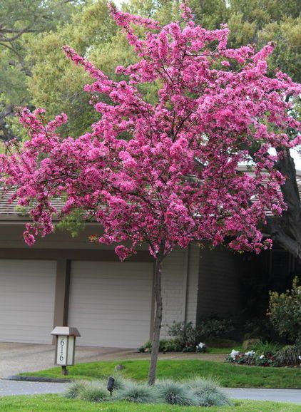 Flowering Crabapple One Of Most Spectacular Flowering Trees One Of The Briefest Shows Genera Spring Flowering Trees Flowering Crabapple Tree Flowering Trees
