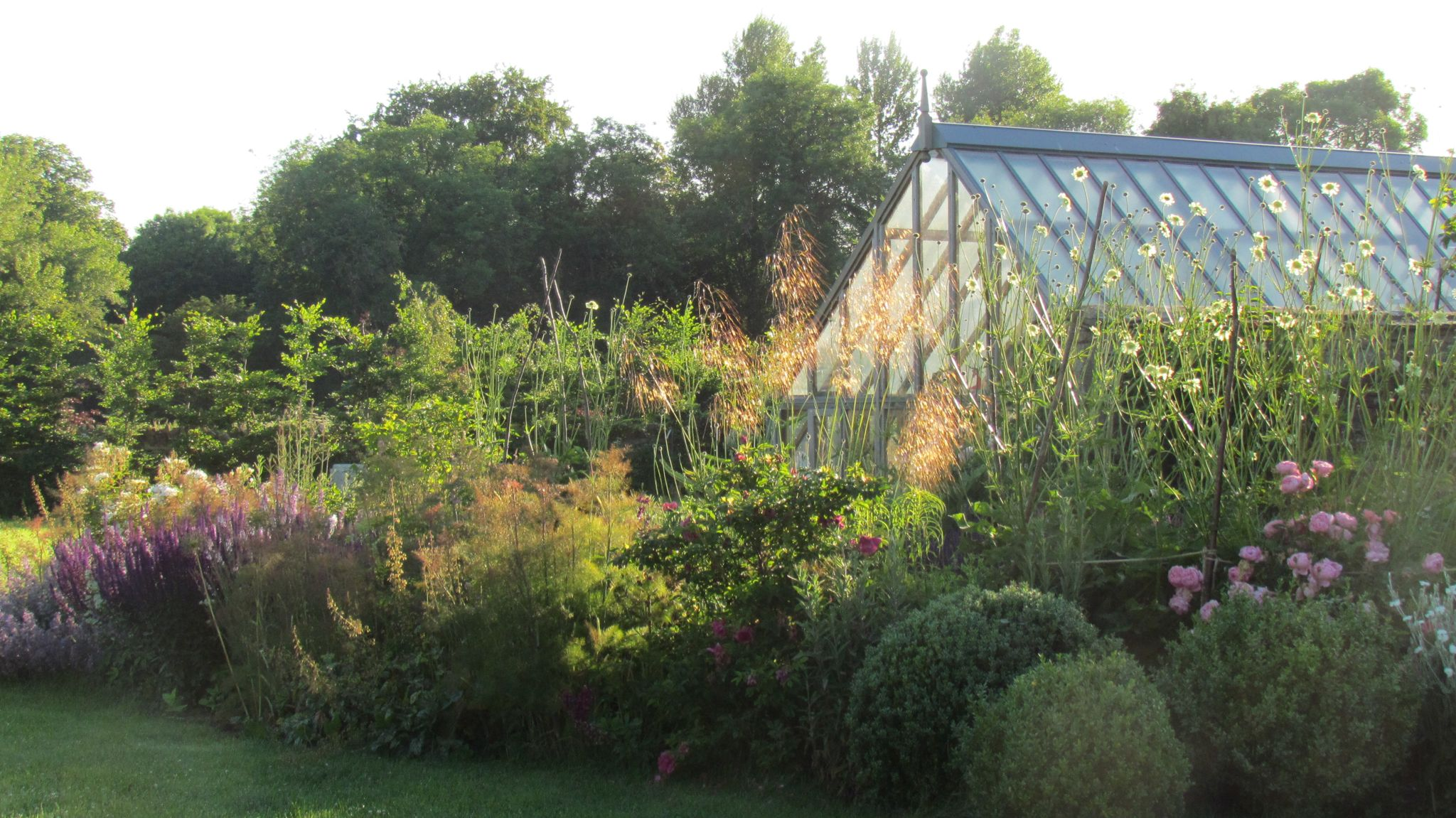 Beautiful cephalaria in the garden, Burford garden co