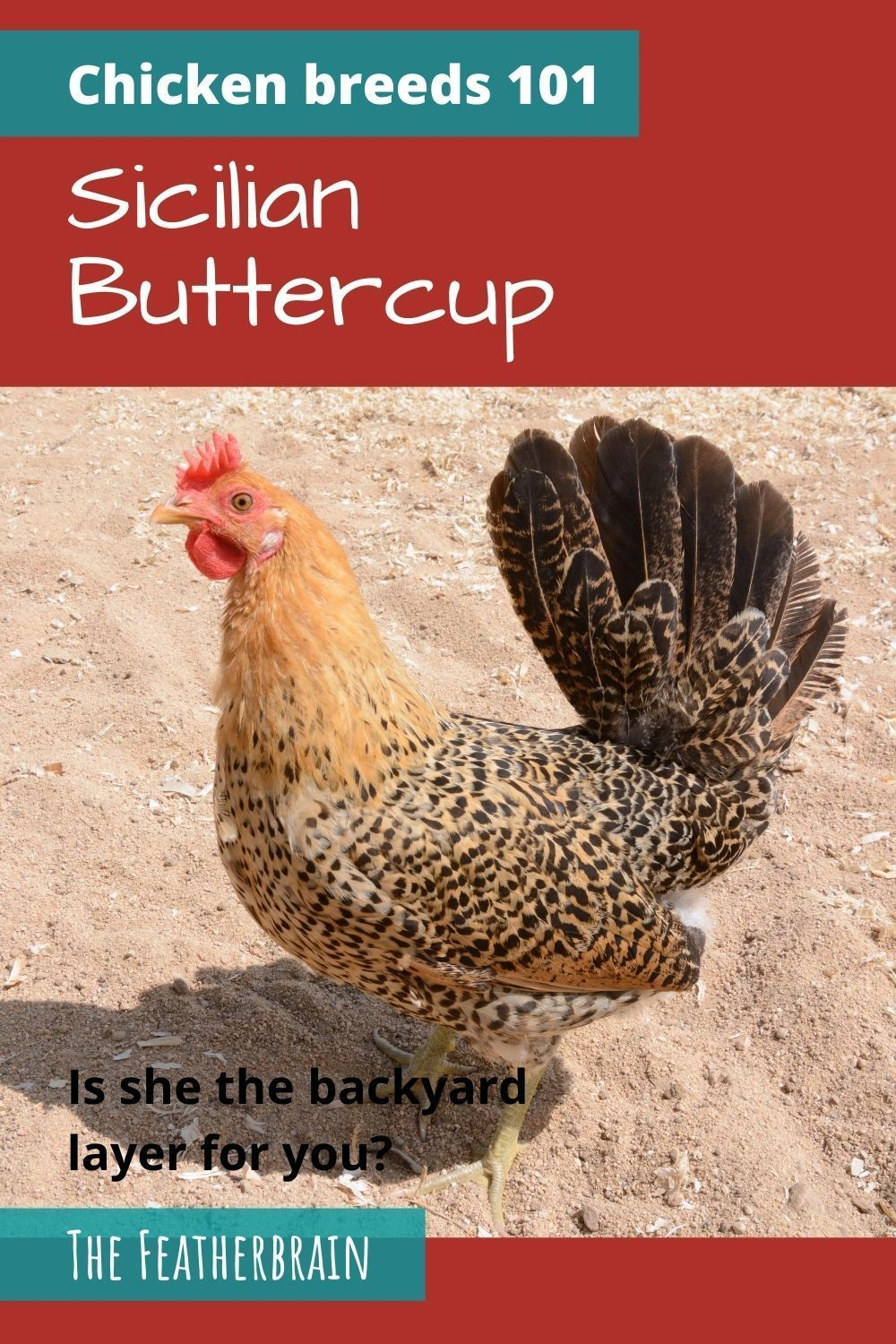 Sicilian Buttercup: Is she the backyard layer for