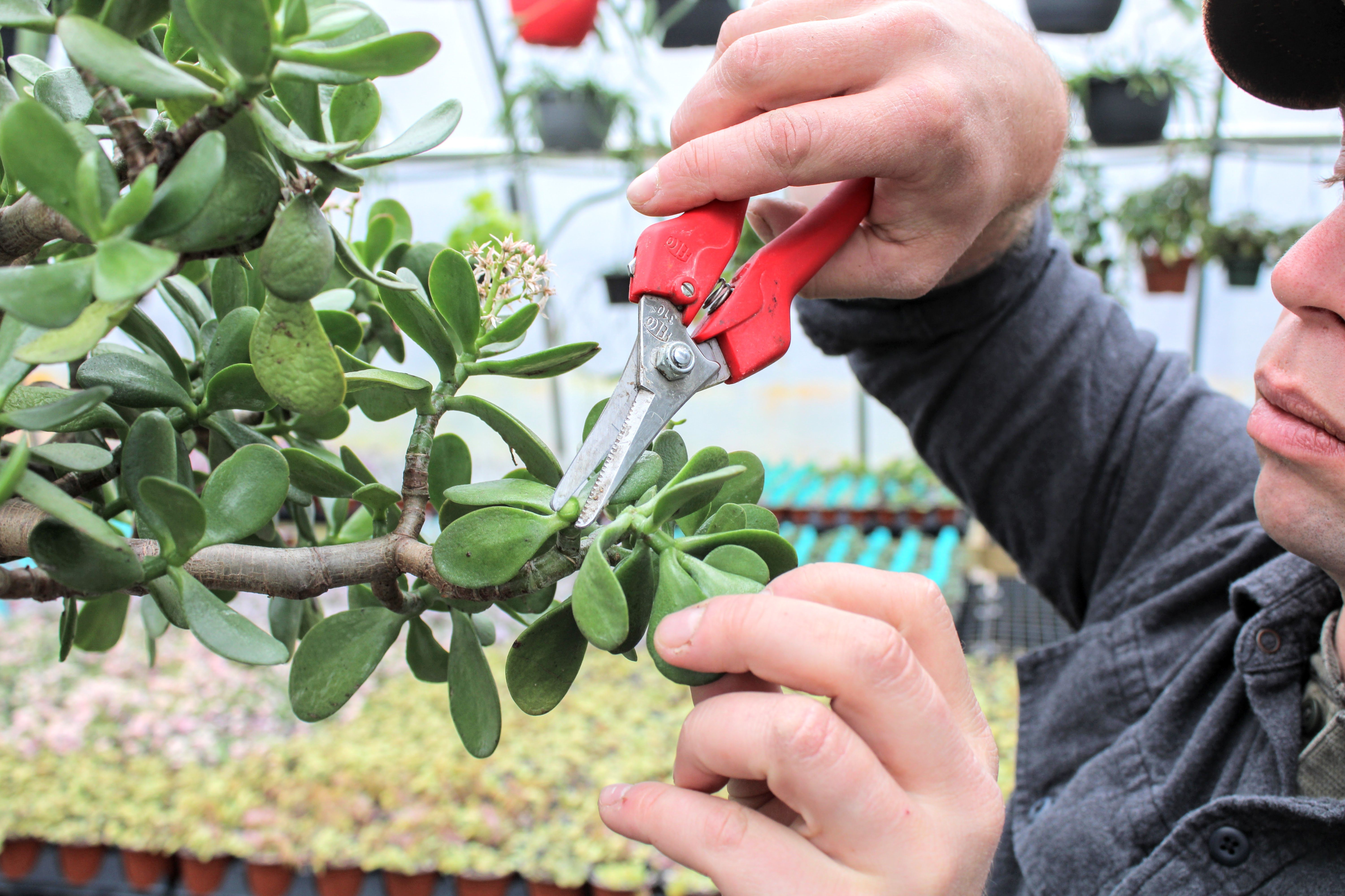 How To Trim A Jade Plant In 2021 Jade Plants Plants Trim