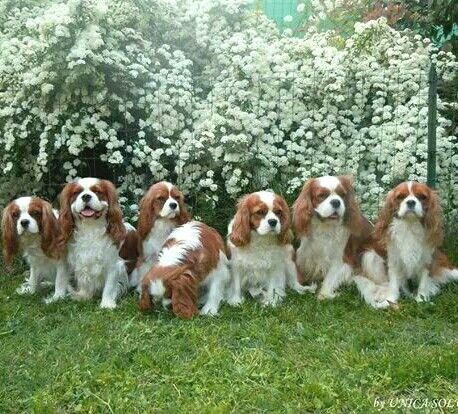 Oh so pretty! Group pic of Cavaliers