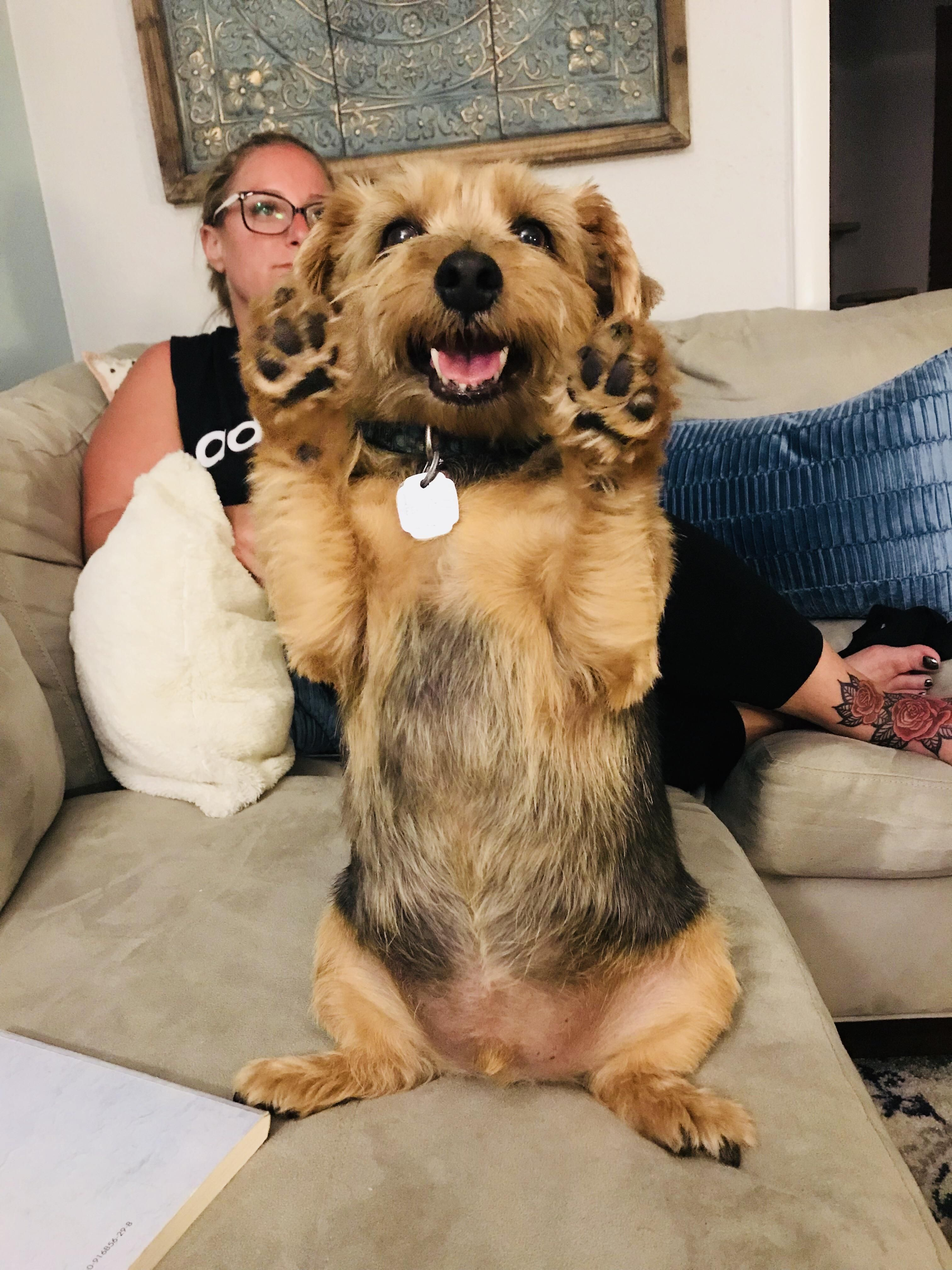 My friend was babysitting this pupper Winston If you dont pay attention to him he sits up and raises his paws Very good boy Deserves all the attention
