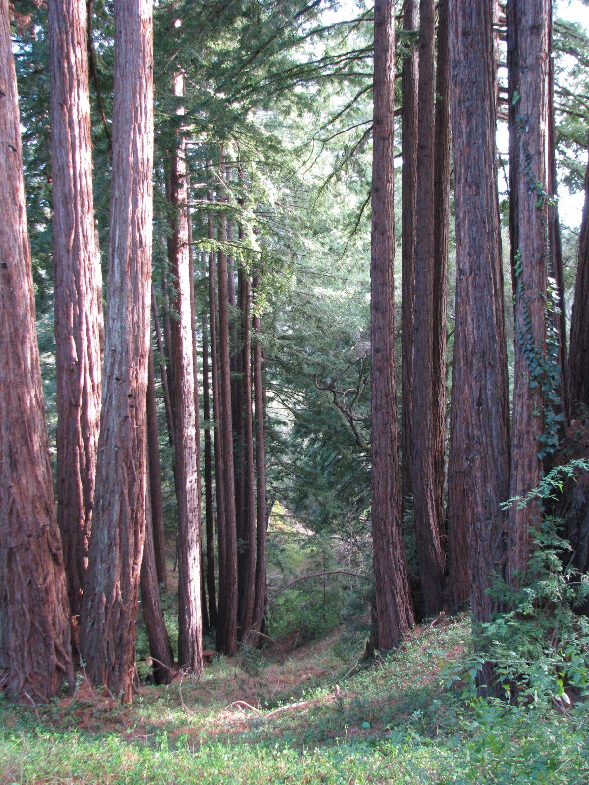 Redwood grove at Love Apple Farms Beautiful tree, Apple