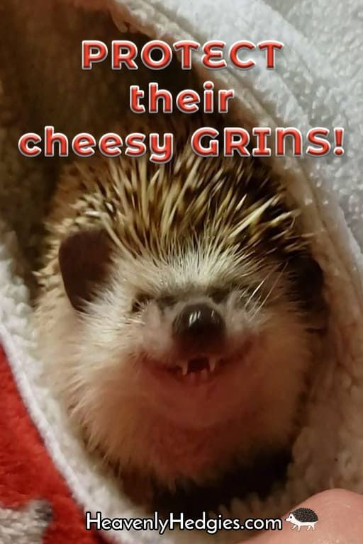 Hedgehog Teeth And The Need For Dental Care