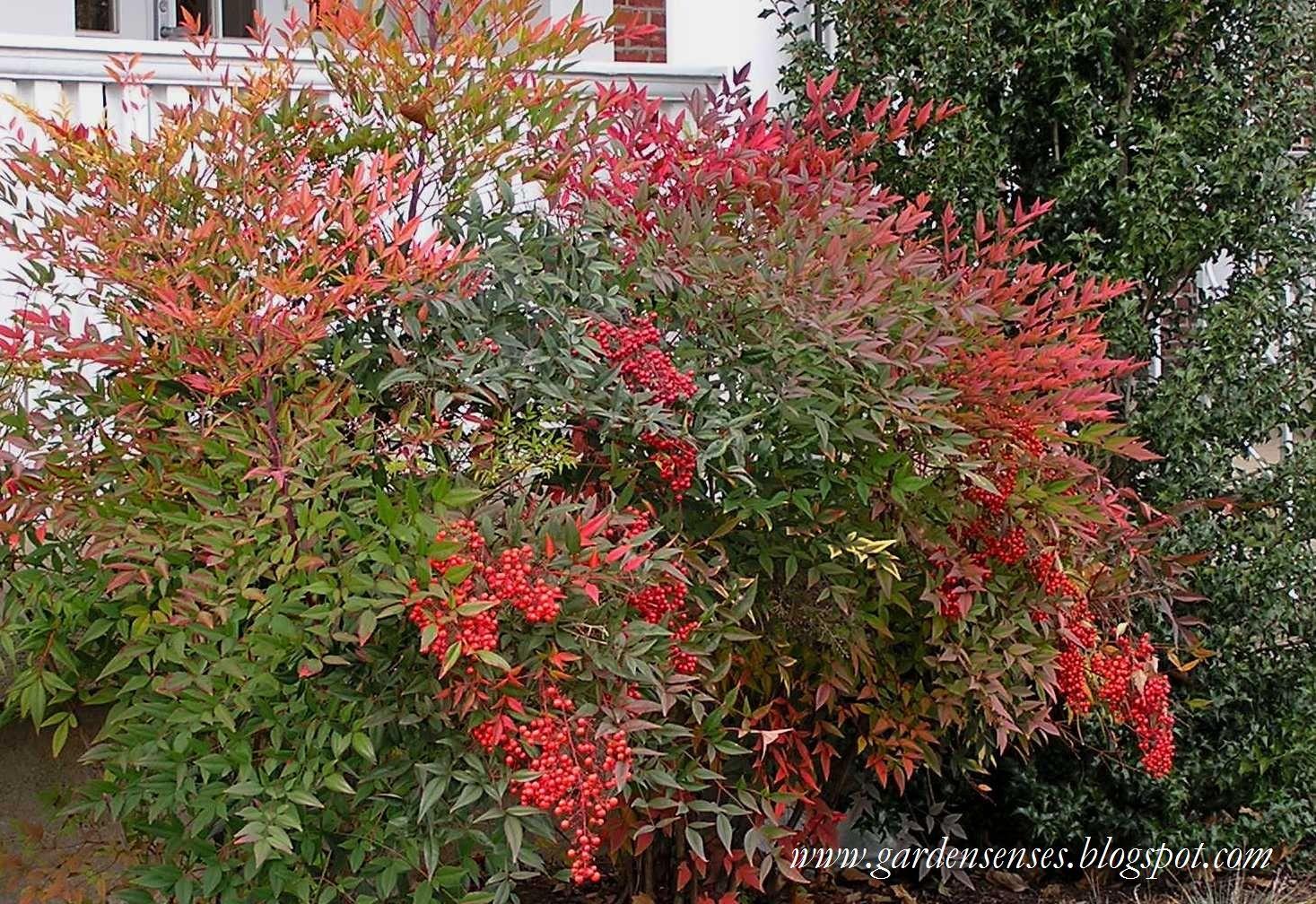 nandina domestica grow up pinterest shrub evergreen. Black Bedroom Furniture Sets. Home Design Ideas