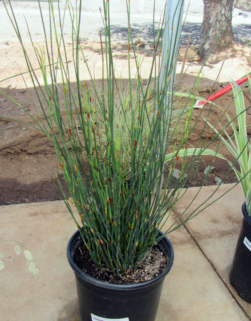 Picture of Live Cape Rush aka Chondropetalum tectorum Grass Plant Fit 1 Gallon Pot