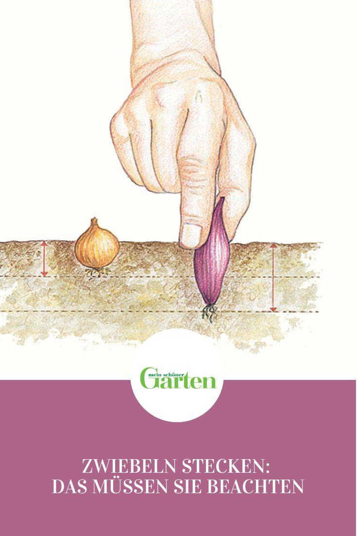 Zwiebeln Anbauen Im Eigenen Garten Zwiebeln Konnen Ausgesat Oder Als Kleine Zwiebeln Gesteckt We Zwiebeln Anbauen Garten Ideen Gemuse Steckzwiebeln Pflanzen