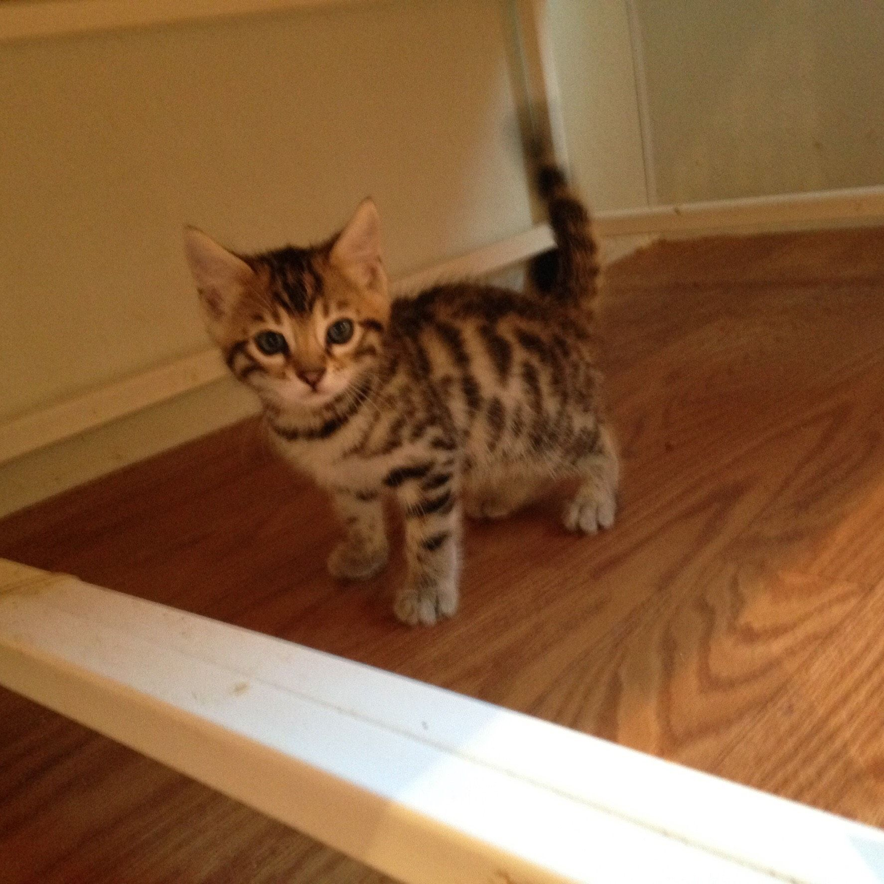 Mozzi - SBT Rosetted Bengal Cat @ 1 Month old | Exotic Hybrids and ...