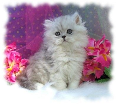 Persian Kittens For Sale Doll Face White Silver Chinchilla