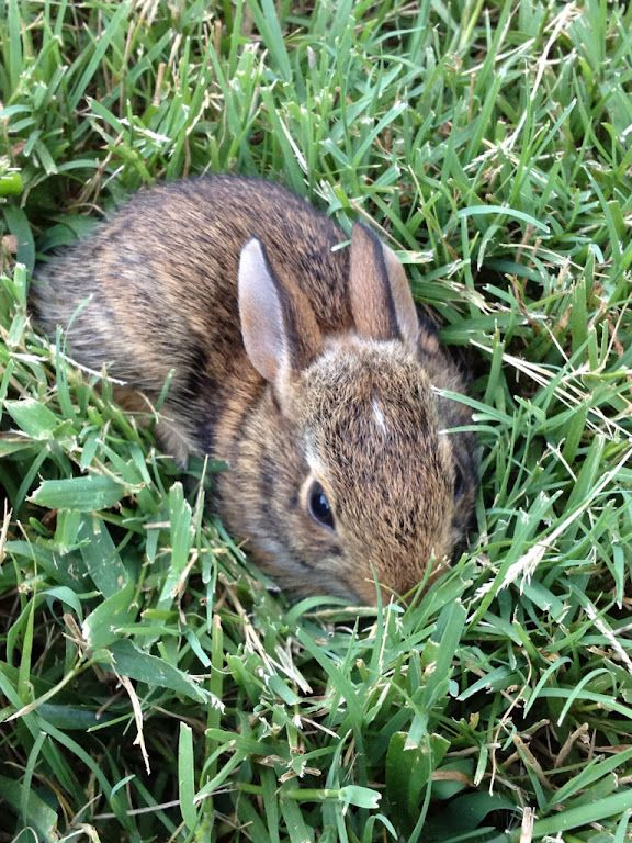 This tiny baby bunny was nestled in the grass of my back ...